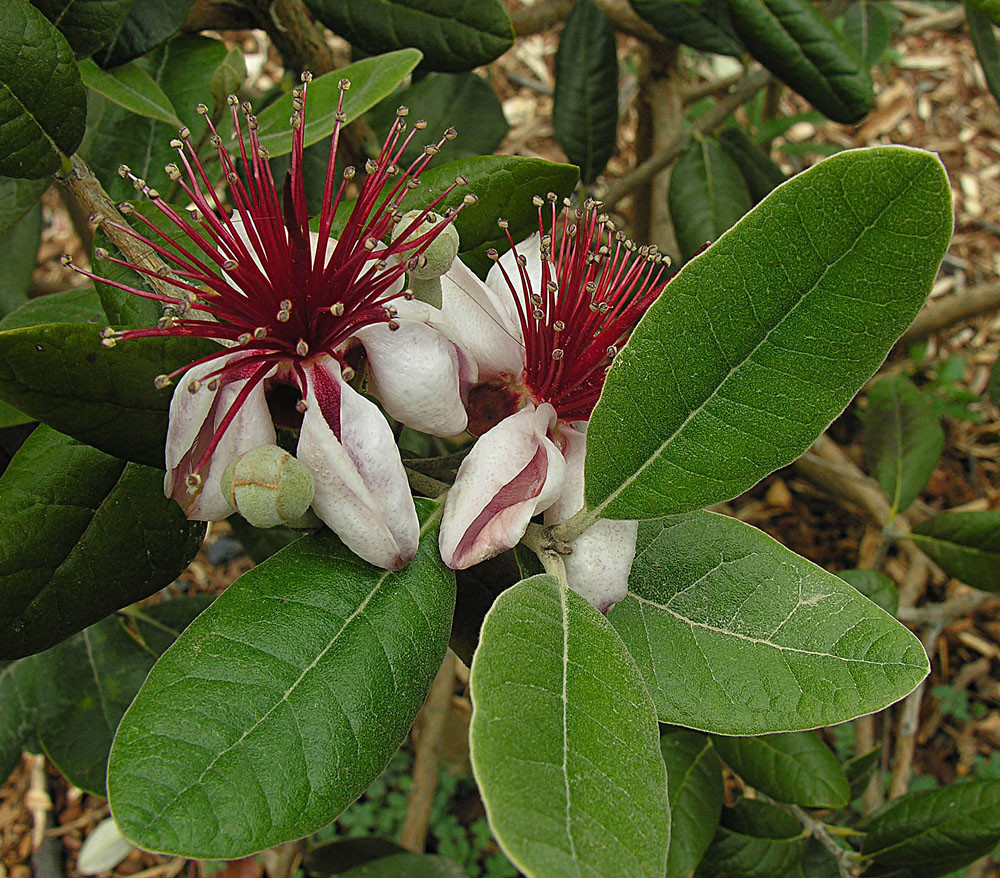 Acca (or Feijoa) sellowiana myrtle fam Brazil, north Argentina etc. SanFBG DG.Cal1