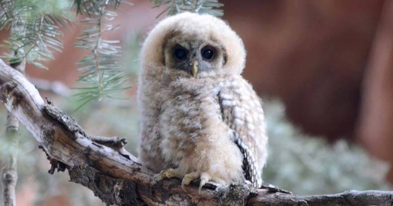 Federal-Govt-to-Slaughter-Dozens-of-Endangered-Spotted-Owls-to-Facilitate-Timber-Sale